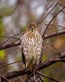 少年木桶匠的鹰在分支栖息 免版税库存照片