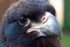 少年条纹的长腿兀鹰 免版税库存照片