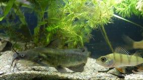 少年淡水鱼水渠鲶鱼、Ictalurus punctatus、欧洲栖息处和普鲁士人的鲤鱼游泳在泥泞的水中 影视素材