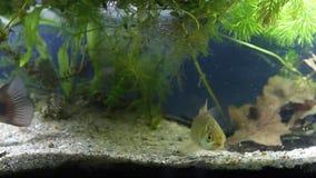 少年淡水鱼水渠鲶鱼、Ictalurus punctatus、欧洲栖息处和gibel鲤鱼游泳在被种植的坦克中泥泞的水  股票录像