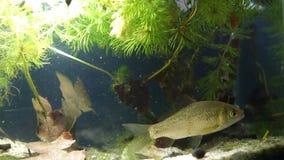 少年淡水鱼gibel鲤鱼,鲫属gibelio游泳在欧洲coldwater河群落生境中泥泞的水种植了坦克 股票视频
