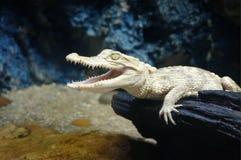 少年白变种鳄鱼,白变种鳄鱼 免版税库存照片