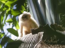 少年白朝向的连斗帽女大衣猴子 库存照片