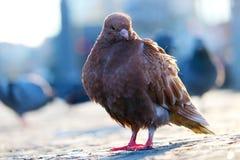 少年红棕色鸽子坐在一个模糊的都市场面前面的路面在berl的日落 库存照片