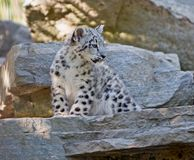 少年豹子雪 免版税库存图片