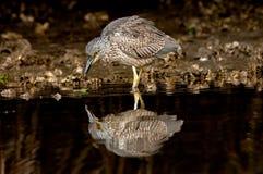 少年黄色被加冠的夜鹭属哺养 免版税库存图片