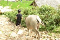 少数越南妇女和水牛 库存图片