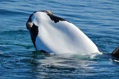少见空白chinned S R鲸鱼 免版税库存图片