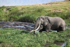 少见站点: 沐浴与河马的大象 免版税图库摄影
