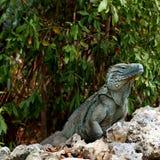 少见蓝色大鳄鱼鬣鳞蜥的海岛 免版税库存照片