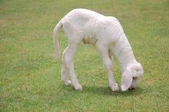 少许吃草羊羔 库存图片