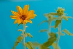 少许向日葵 免版税图库摄影