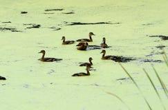 少许吹哨的鸭子(Dendrocygna javanica) 免版税图库摄影