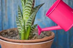 少许桃红色浇灌和多汁植物 背景蓝色金模式葡萄酒 免版税库存图片