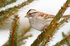 少许棕色和白色鸟 免版税库存照片