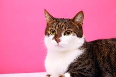 少许灰色和白色猫 免版税库存图片