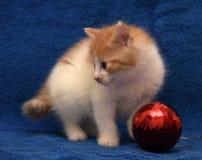 少许红色和白色小猫shorthair猫 库存图片