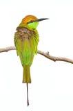 少许绿色食蜂鸟 库存图片