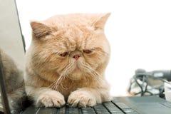 少许英国CPA加菲尔德猫坐膝上型计算机 图库摄影