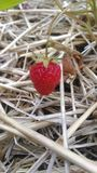 少许草莓 免版税库存图片