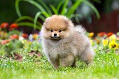 少许蓬松Pomeranian小狗 免版税库存照片