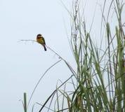 少许食蜂鸟在非洲 免版税库存图片