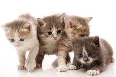 少许1个月大小猫 库存照片