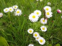少量在草之间的白色瓣雏菊 免版税库存照片