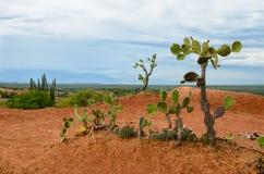 少量在Tatacoa沙漠明亮的橙色土壤的另外仙人掌  免版税库存图片
