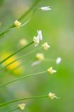 少量开花的大蒜(葱属paradoxum)花 免版税图库摄影