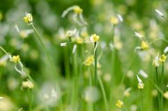 少量开花的大蒜(葱属paradoxum) 免版税图库摄影