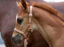 少量月小的马驹头 免版税库存照片