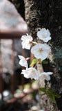 少量樱花附近的河 图库摄影
