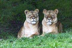 少量逗人喜爱的狮子在科尔克拉德的,Nederland动物园里 免版税库存照片
