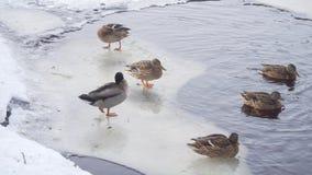 少量鸭子和雄鸭在冬天湖冰川站立并且清洗他们的羽毛 股票视频