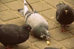 少量鸽子在公园 库存照片