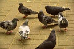 少量鸽子在公园 免版税库存照片