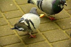 少量鸽子在公园 库存图片