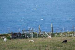 少量绵羊在小山的篱芭附近吃草 免版税库存图片