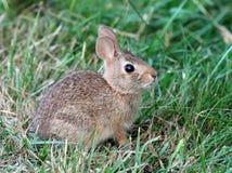 少年东部棉尾巴兔子 免版税库存照片