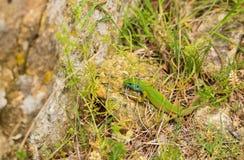 少年东部绿蜥蜴 免版税图库摄影