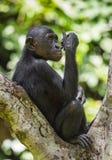 少年倭黑猩猩画象在树的在自然生态环境 背景绿色自然 倭黑猩猩(平底锅paniscus) 库存照片