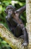 少年倭黑猩猩画象在树的在自然生态环境 背景绿色自然 倭黑猩猩(平底锅paniscus) 库存图片