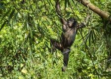 少年倭黑猩猩画象在树的在自然生态环境 背景绿色自然 倭黑猩猩(平底锅paniscus) 免版税库存照片