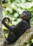 少年倭黑猩猩画象在树的在自然生态环境 背景绿色自然 倭黑猩猩(平底锅paniscus) 图库摄影