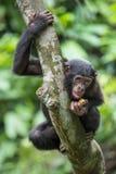 少年倭黑猩猩画象在树的在自然生态环境 背景绿色自然 倭黑猩猩(平底锅paniscus) 免版税库存图片