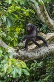 少年倭黑猩猩画象在树的在自然生态环境 背景绿色自然 免版税库存图片