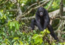 少年倭黑猩猩画象在树的在自然生态环境 背景绿色自然 库存照片