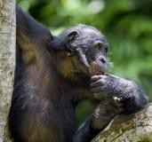 少年倭黑猩猩画象在树的在自然生态环境 背景绿色自然 图库摄影
