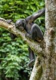少年倭黑猩猩画象在树的在自然生态环境 免版税图库摄影